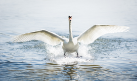 Women's Talk: Ugly Duckling or A Swan with Purpose?